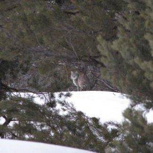 Bobcat behind my house 100 yards